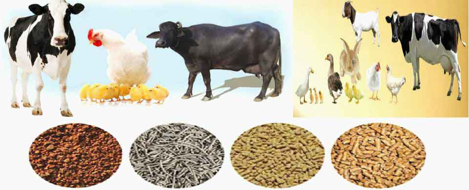 Cattle and Poultry Feed Project Report,Cattle Feed & Poultry
